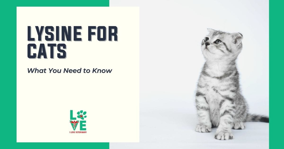 Lysine for Cats - What you need to know - I Love Veterinary