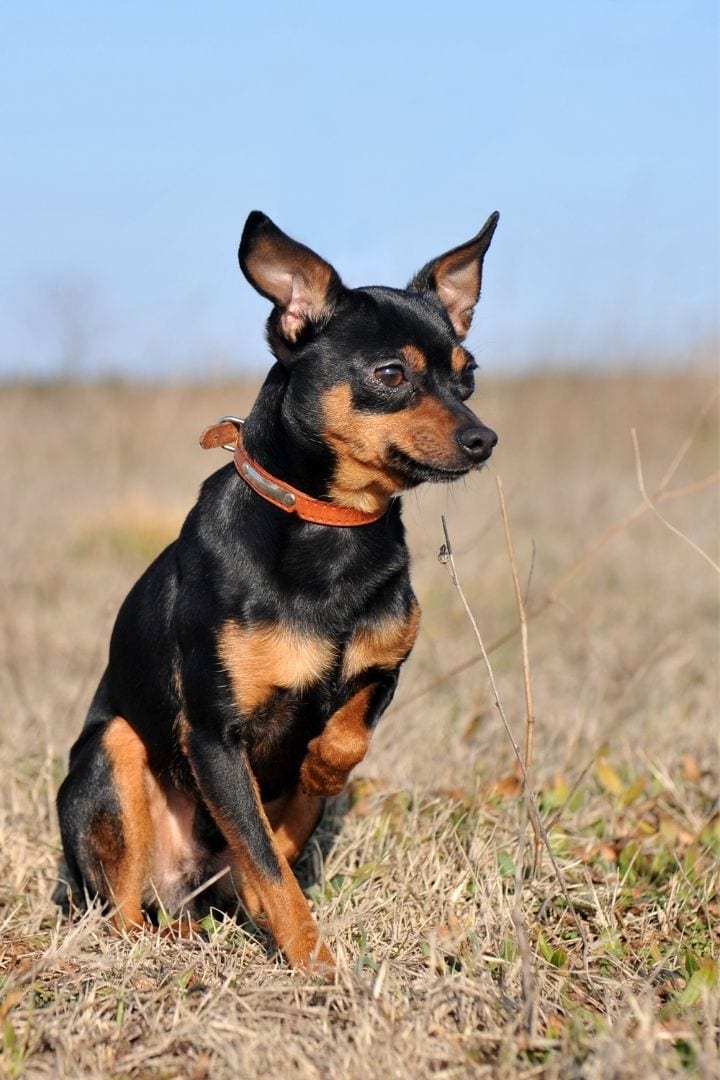 Miniature Pinscher, Why Is My Dog Shaking? When Shake Rattle and Roll Is Not Good - I Love Veterinary