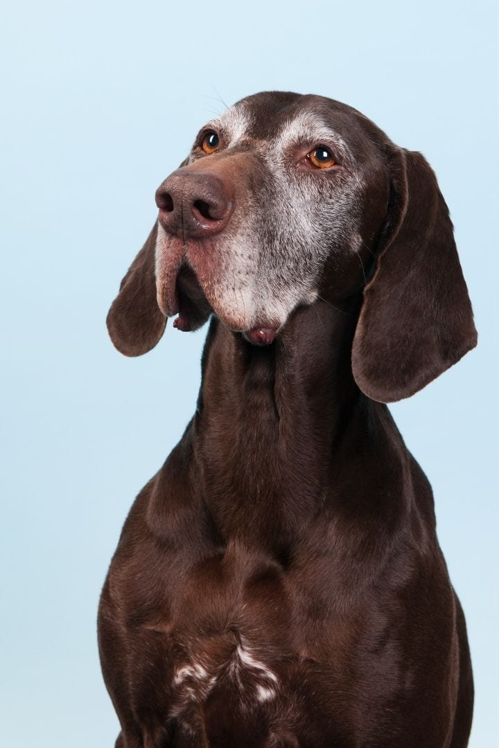 Old dog, Talk Doggy to me- Why do Dogs Howl - I Love Veterinary