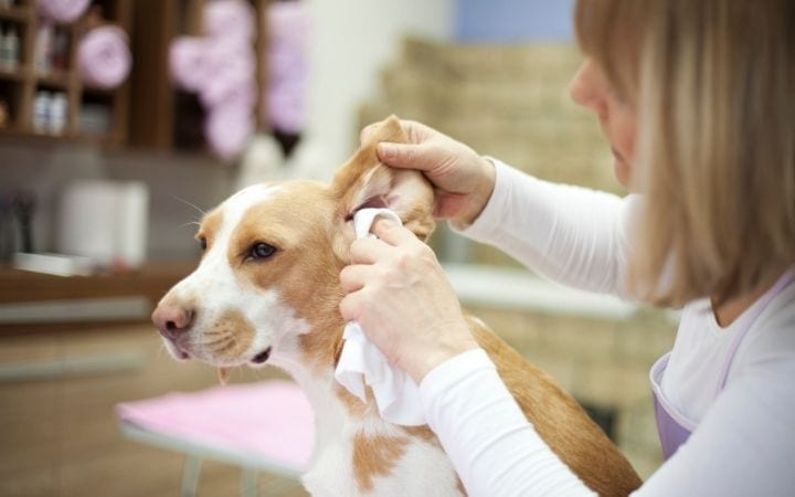 Owner cleaning dog's ear, The Scoop on Dog Ear Cleaner - I Love Veterinary