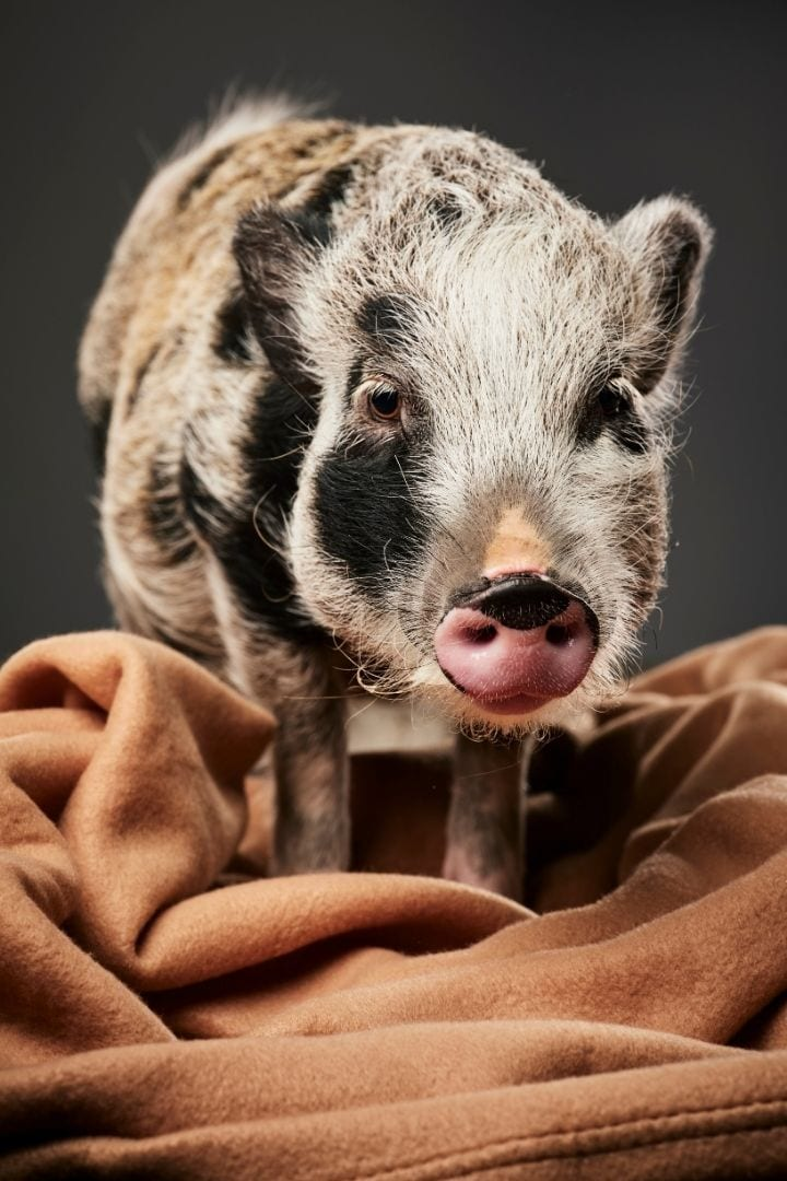 Pig and blanket, A Comprehensive guide about the things you weren't told before you got a pet pig, part one - I Love Veterinary