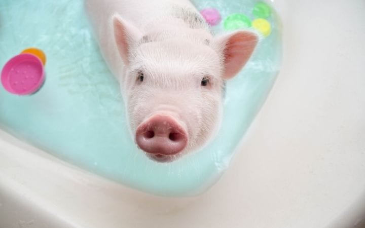 Piggy bathes in the bath, A Comprehensive Guide About the Things You Weren't Told Before You Got a Pet Pig - Part Two - I Love Veterinary