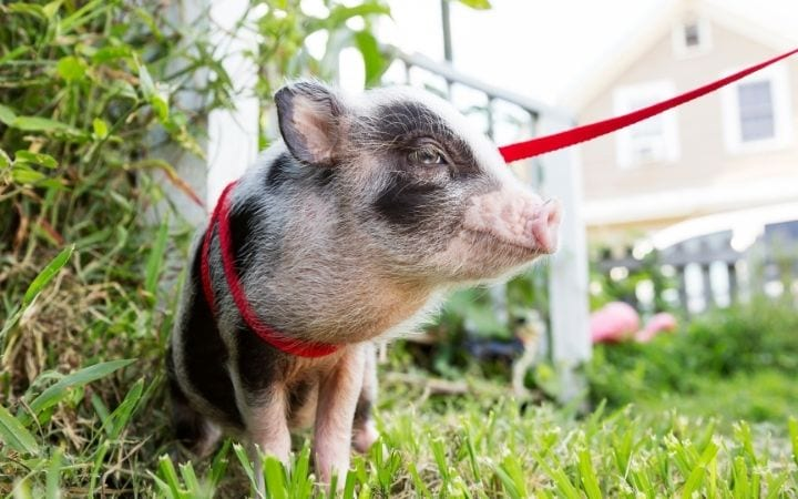 Piglet on the leash, A Comprehensive guide about the things you weren't told before you got a pet pig Part One - I Love Veterinary
