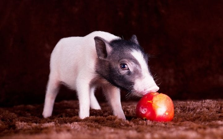 Piglet eating apple, A Comprehensive guide about the things you weren't told before you got a pet pig - I Love Veteiranary