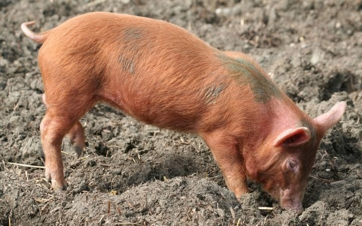Piglet rooting, A Comprehensive Guide About the Things You Weren't Told Before You Got a Pet Pig - Part Two - I Love Veterinary