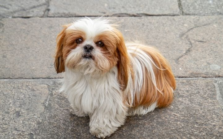 Shih Tzu, Unpacking the Symptoms, Treatments and Causes of IMHA - I Love Veterinary