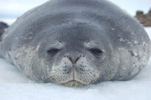 Weddell Seal Pup in Antarctica by Dr Phil Tucak the Wildlife Outreach Vet, Interview With Dr. Phil Tucak - I Love Veterinary