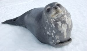 Weddell Seal in Antarctica by Dr Phil Tucak the Wildlife Outreach Vet, Interview With Dr. Phil Tucak - I Love Veterinary