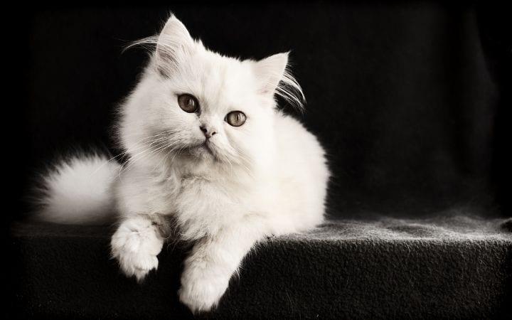 White Persian cat, Albino Cat Vs. White Cat - Knowing The Difference - I Love Veterinary