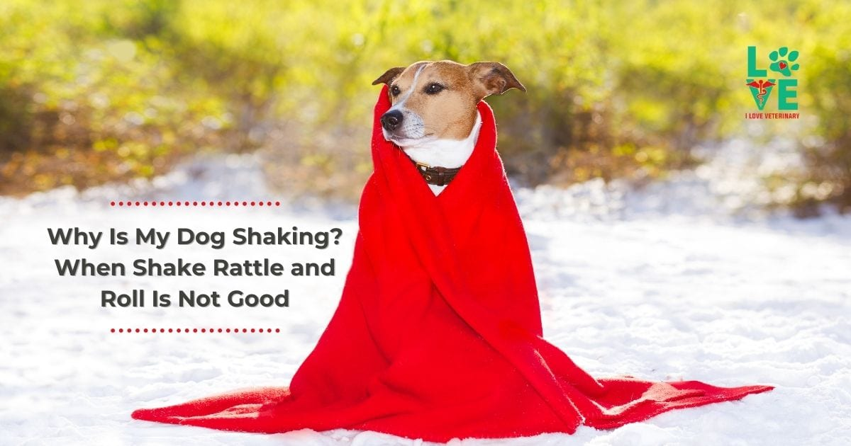 Why Is My Dog Shaking? When Shake Rattle and Roll Is Not Good - I Love Veterinary