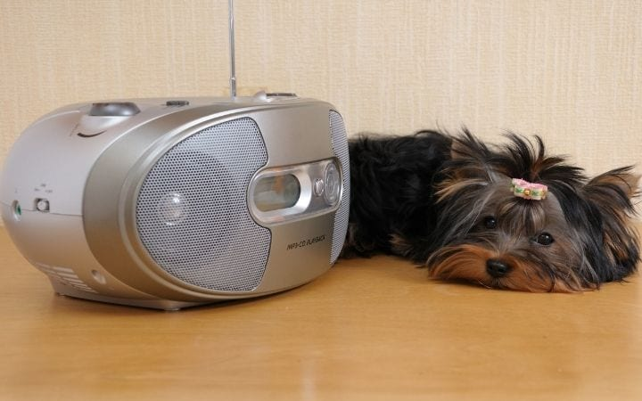 Yorkie listening to music, Talk Doggy to me- Why do Dogs Howl - I Love Veterinary