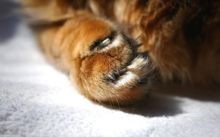 Cat's nails help them to deal with Cerebellar Hypoplasia, Feline Cerebellar Hypoplasia - I Love Veterinary