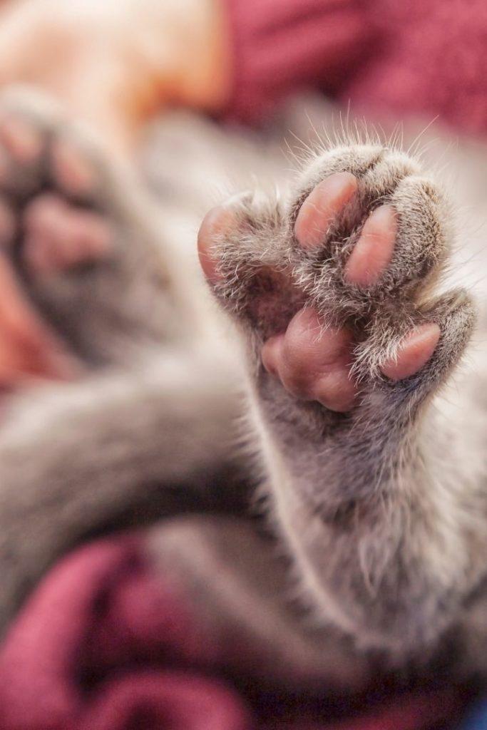 Cat paws, Plasma Cell Pododermatitis - I Love Veterinary