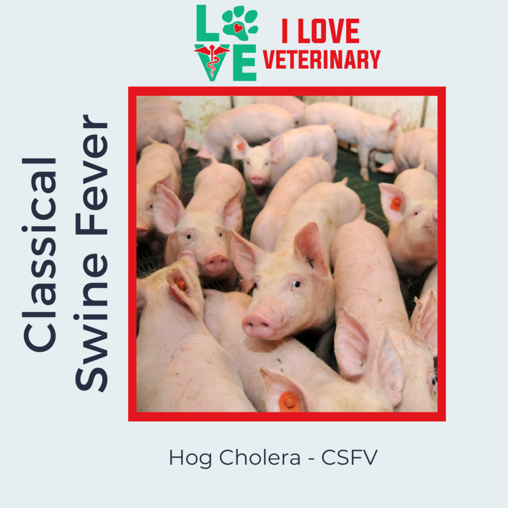 Classical Swine Fever I Love Veterinary - Blog for Veterinarians, Vet Techs, Students