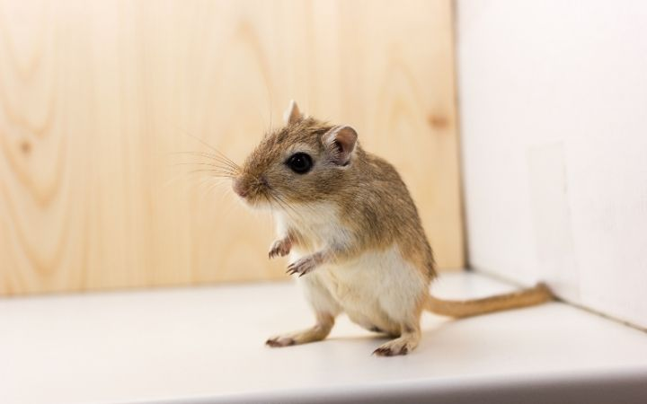 Cute gerbil, Cool Things You Never Knew About Gerbils - I Love Veterinary