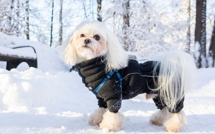 Dog in snow, Antifreeze Poisoning in Dogs - I Love Veterinary