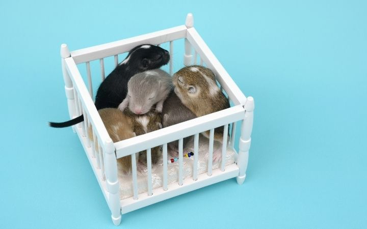 Gerbil babies, Cool Things You Never Knew About Gerbils - I Love Veterinary
