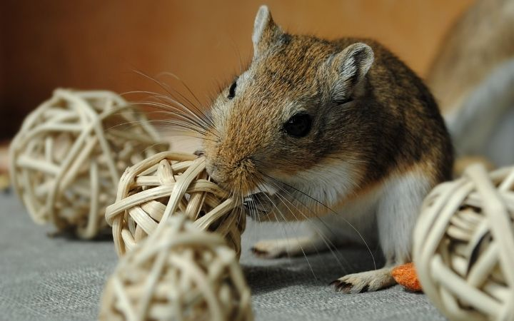 Gerbil nibbling, Cool Things You Never Knew About Gerbils - I Love Veterinary