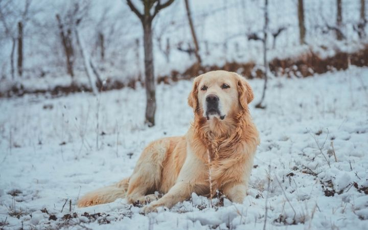 Golden retriever in winter time, Top Pet Safety Tips for the Festive Season - I Love Veterinary
