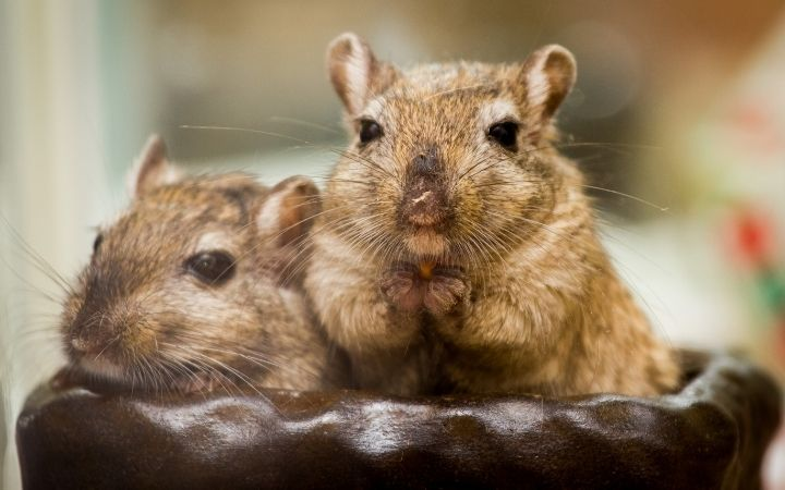 Pair of gerbils, Cool Things You Never Knew About Gerbils - I Love Veterinary