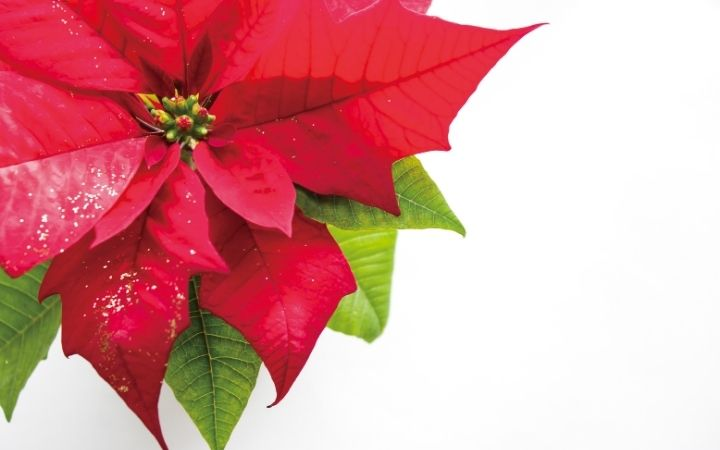 Poinsettias, Top Pet Safety Tips for the Festive Season - I Love Veterinary