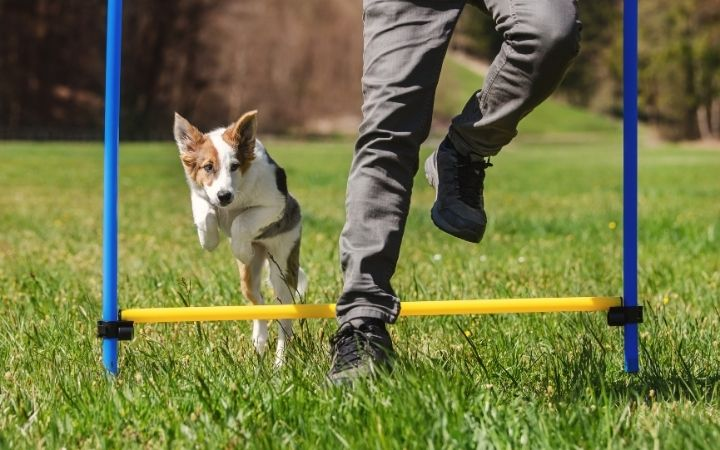 Agility dog training - I Love Veterinary