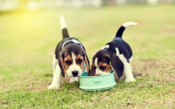 Beagle puppies eating, Canine Panosteitis - I Love Veterinary