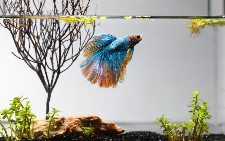 Betta fish, The Top 10 Low Maintenance Pets to Own - I Love Veterinary