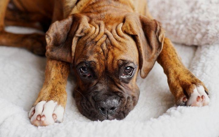 Boxer, Canine Histiocytoma Complex - I Love Veterinary