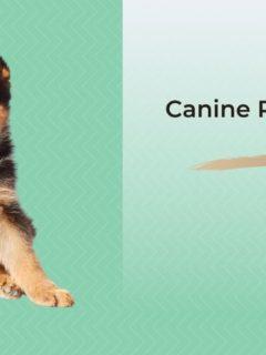 Canine Panosteitis - I Love Veterinary