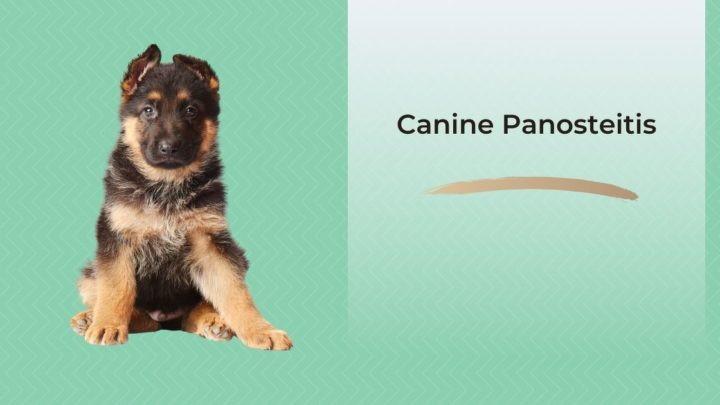 Canine Panosteitis - I Love Veterinary