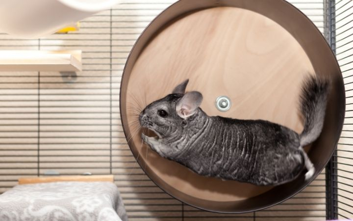 Chinchilla, The‌ ‌Top‌ ‌10‌ ‌Low‌ ‌Maintenance‌ ‌Pets‌ ‌to‌ ‌Own‌ ‌- I Love Veterinary