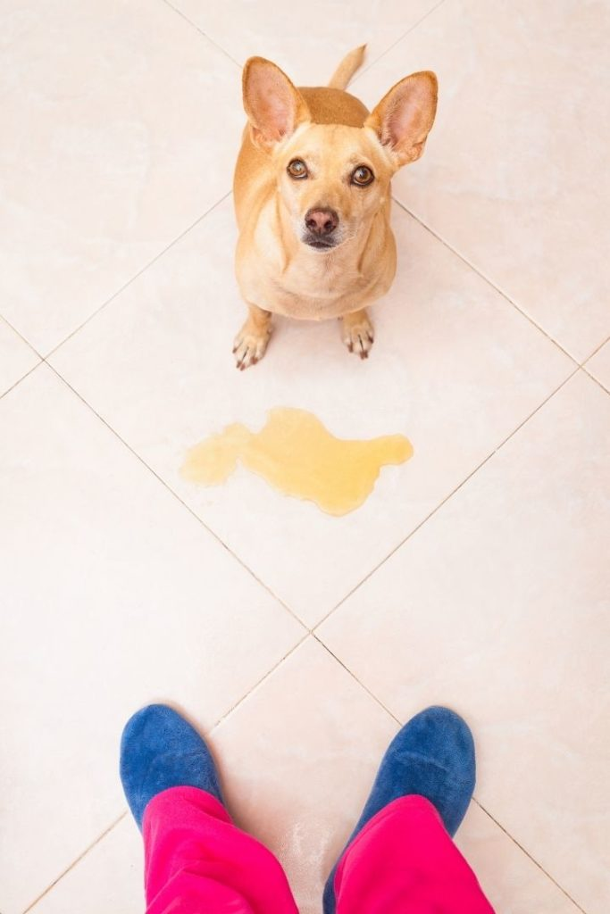 Dog pees at home, Dog Incontinence - I Love Veterinary