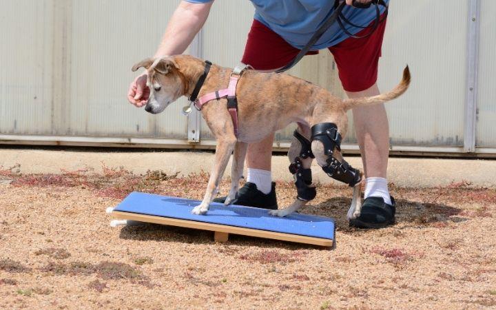 Dog rehabilitation exercise on rocker board - I Love Veterinary