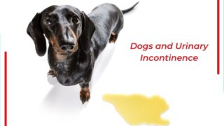Dogs and Urinary Incontinence - I Love Veterinary