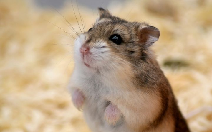 Dwarf hamster, The‌ ‌Top‌ ‌10‌ ‌Low‌ ‌Maintenance‌ ‌Pets‌ ‌to‌ ‌Own‌ ‌- I Love Veterinary