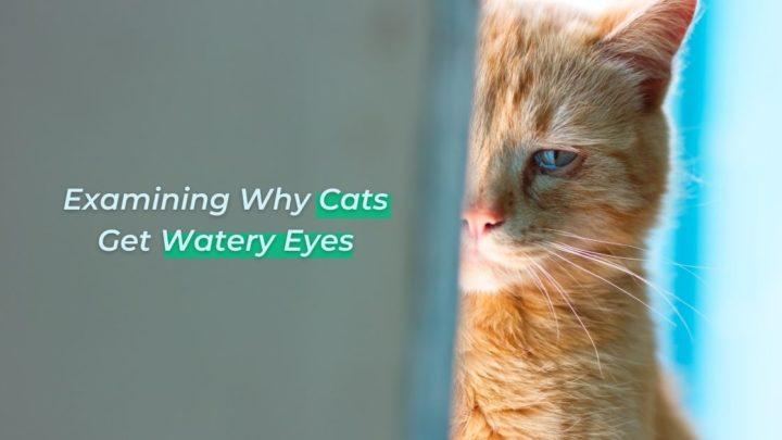 Examining Why Cats Get Watery Eyes - I Love Veterinary