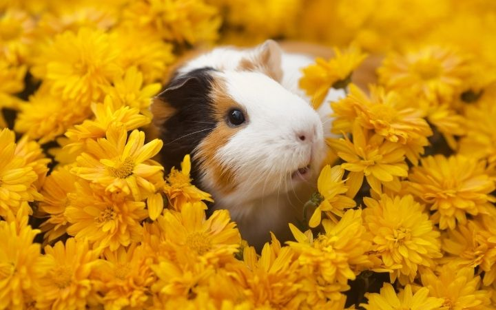 Guinea pig, The‌ ‌Top‌ ‌10‌ ‌Low‌ ‌Maintenance‌ ‌Pets‌ ‌to‌ ‌Own‌ ‌- I Love Veterinary