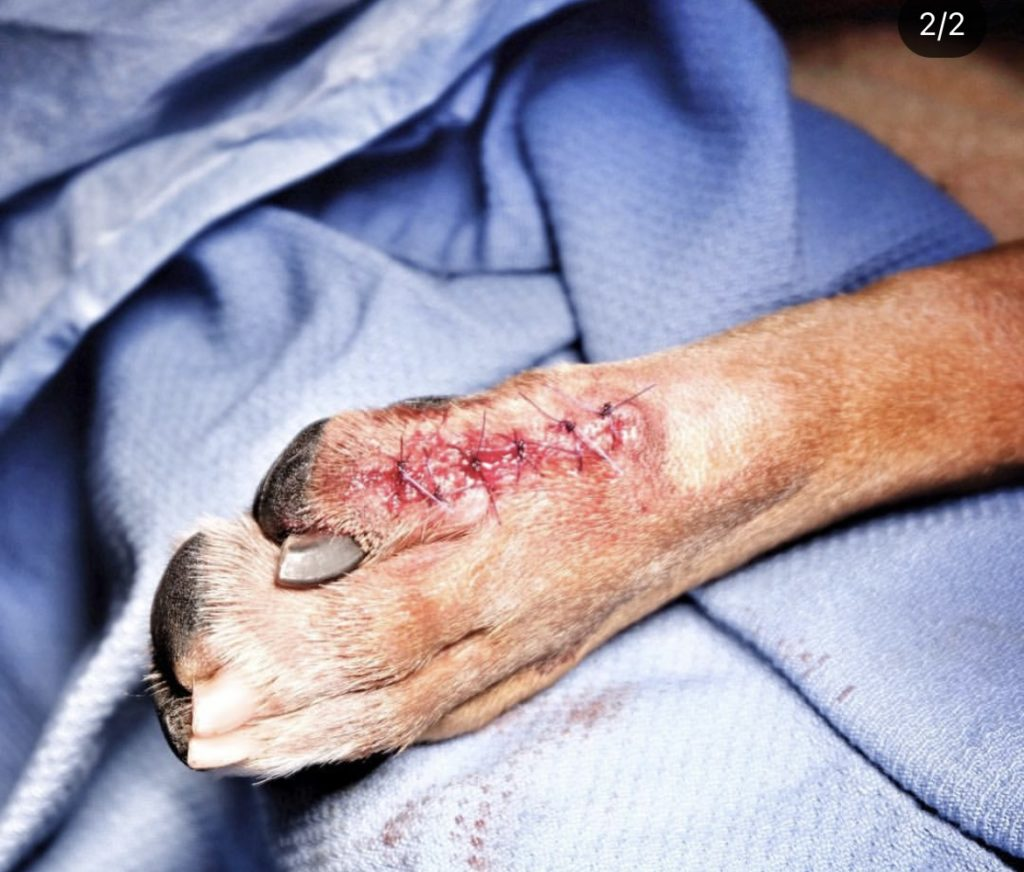 Post op picture of dog's paw, Canine Histiocytoma Complex - I Love Veterinary