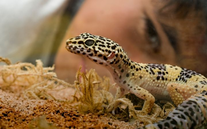 Leopard gecko, The Top 10 Low Maintenance Pets to Own - I Love Veterinary