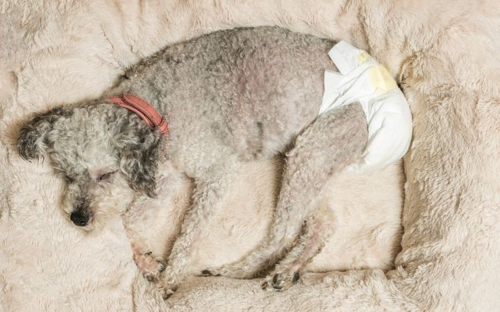 Old dog with daiper, Dog Incontinence - I Love Veterinary