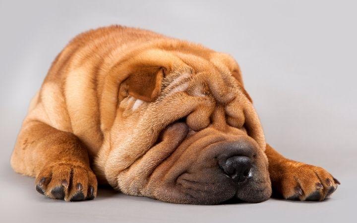 Shar Pei, Canine Histiocytoma Complex - I Love Veterinary