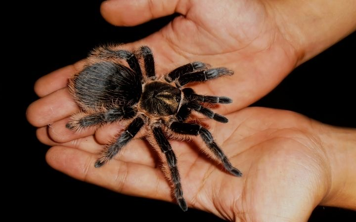 Tarantula, The Top 10 Low Maintenance Pets to Own - I Love Veterinary