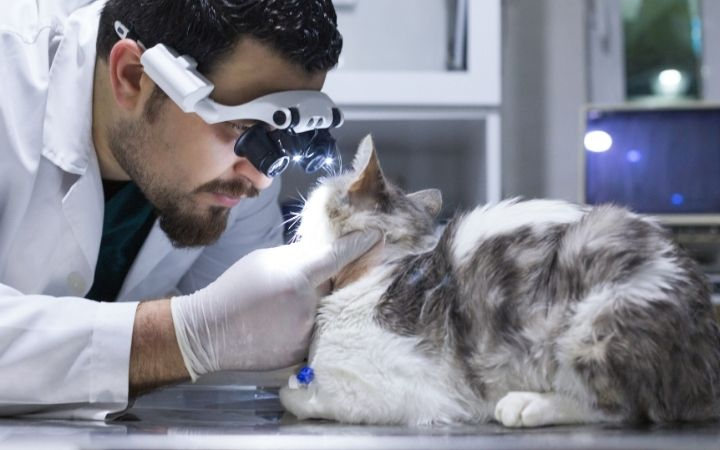 Vet examining cat's retina, Head Pressing in Cats and Dogs - I Love Veterinary