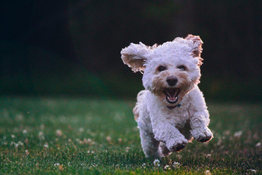 Happy dog running a in field