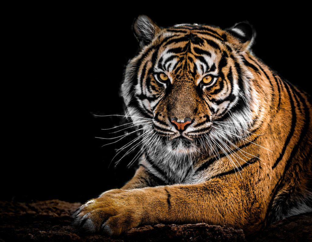 Beautiful tiger gazing with piecing eyes