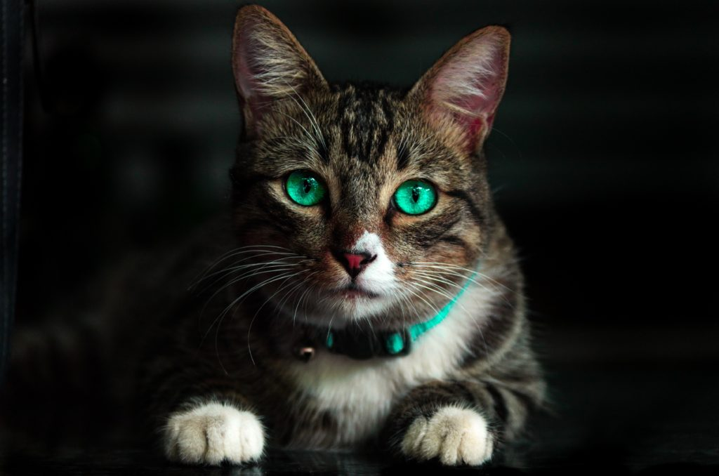 Cat from Egypt with beautiful eyes