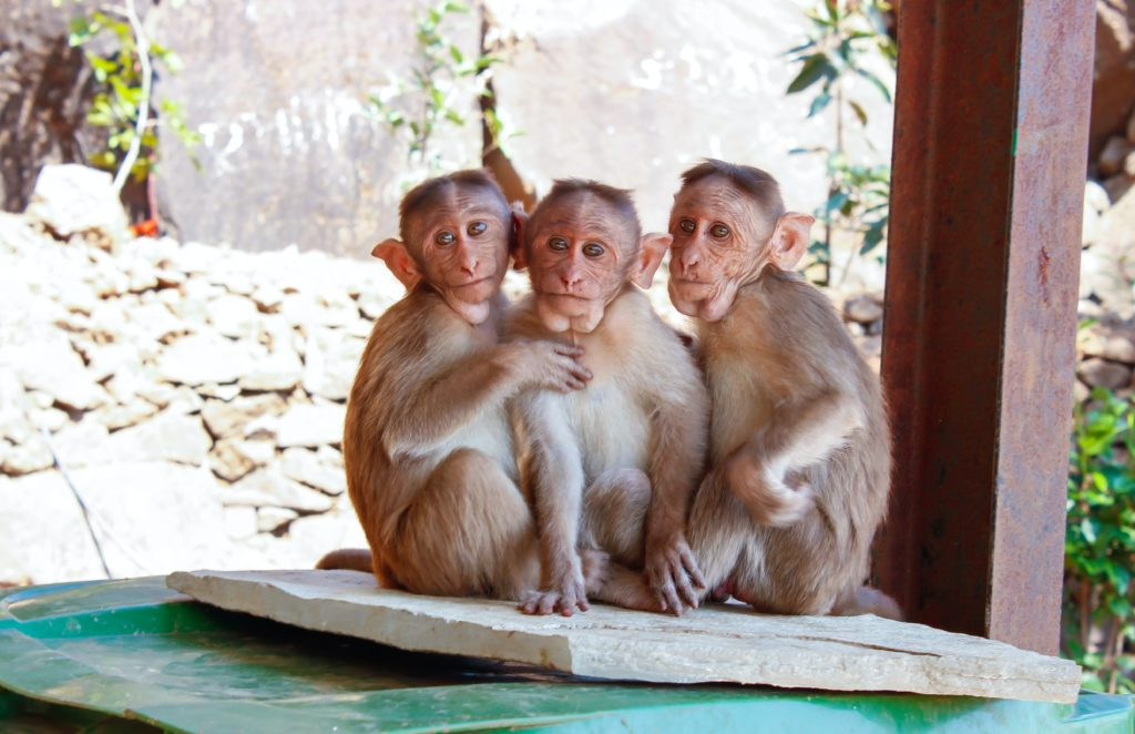 a group of monkeys in India