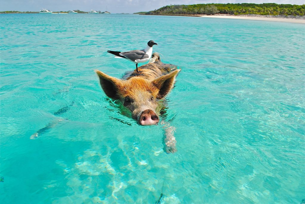 Pig swimming with a seagull hitching a ride on his back