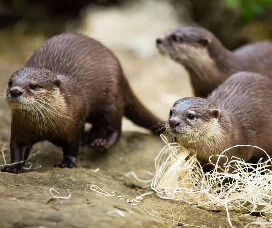 Otter mom and her pups